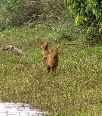 Foxes in Periyar National Park on a South India Tour