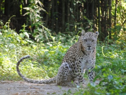 Leopard at Kanha National Park on an India Tour
