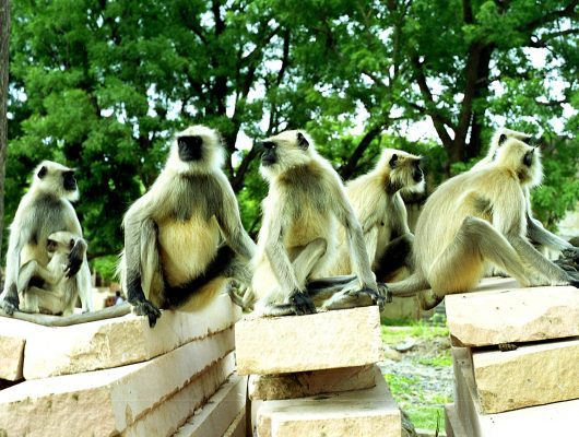 Group of Monkey at National Park on an India Tour